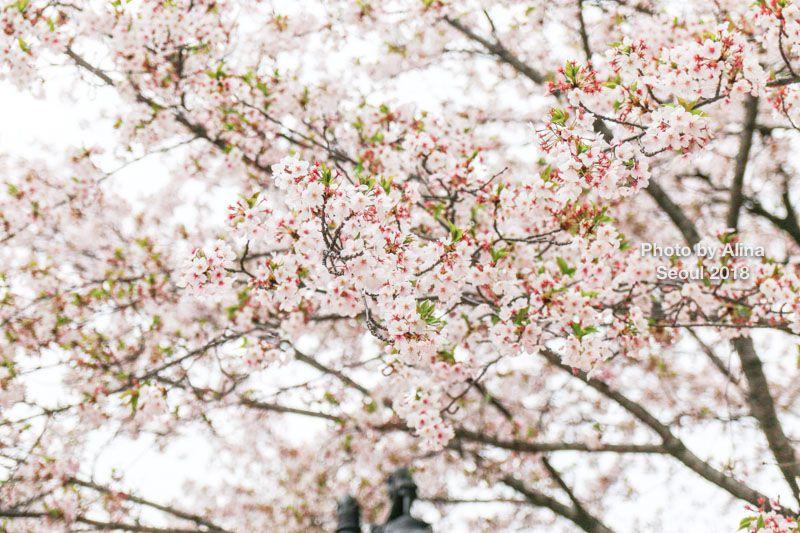 首爾石村湖櫻花季