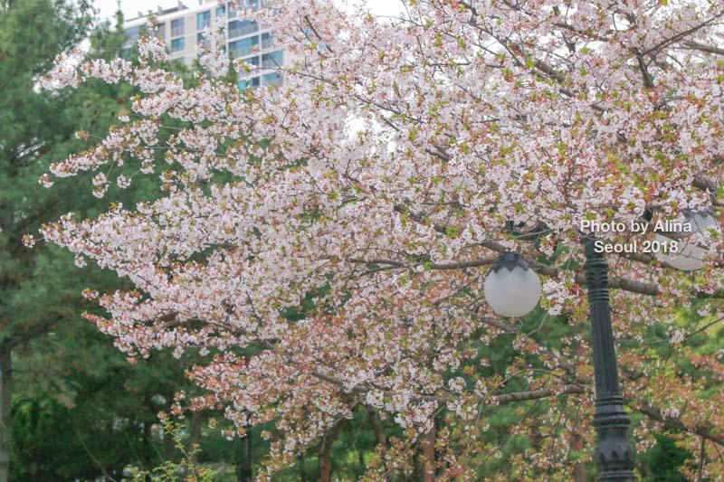 石村湖櫻花節慶典
