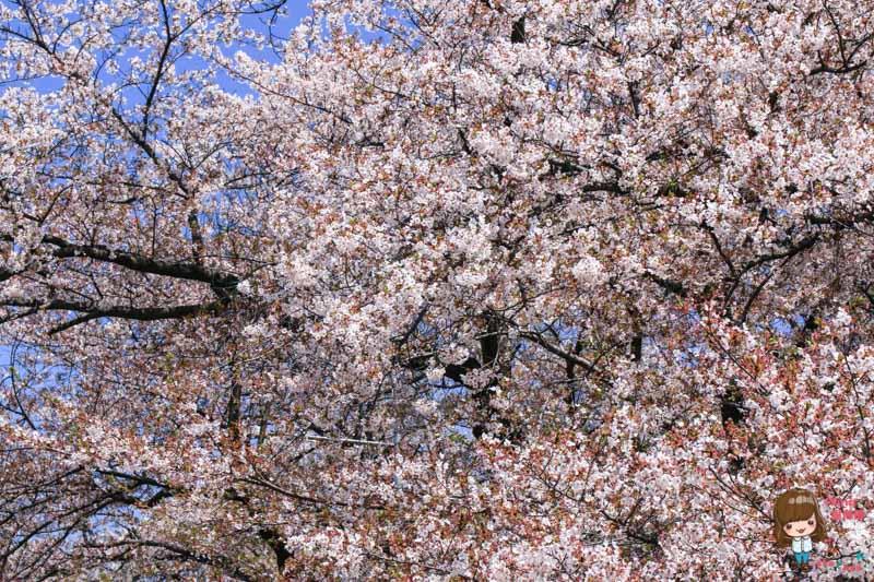 韓國仁川櫻花公園