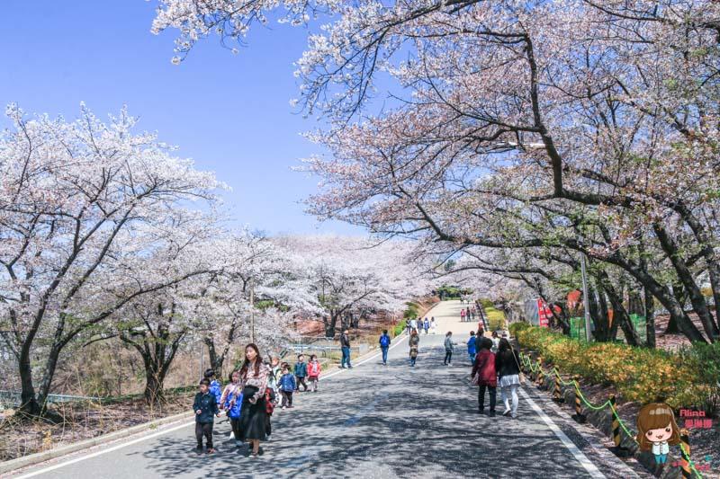 韓國櫻花大道