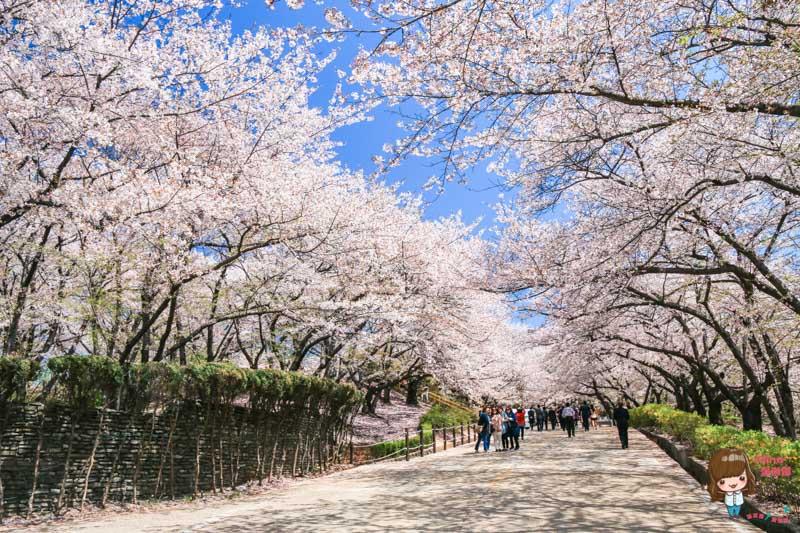 韓國櫻花秘境