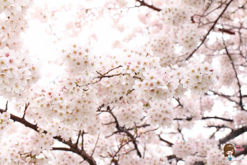 釜山賞櫻景點