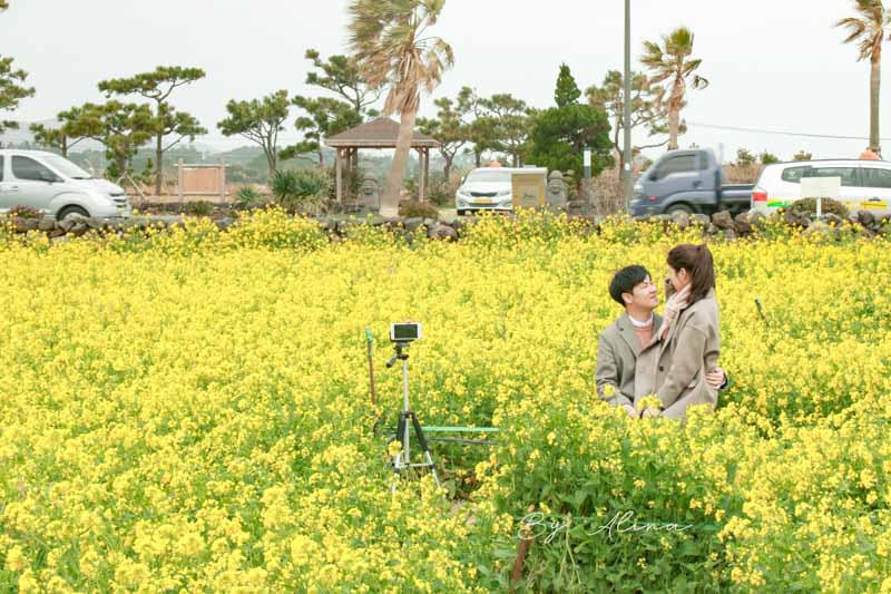 濟州島油菜花
